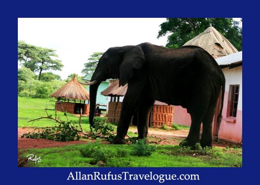 Elephant in village village