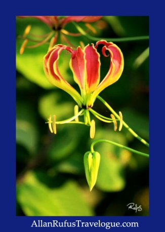 Flame lily (Gloriosa)