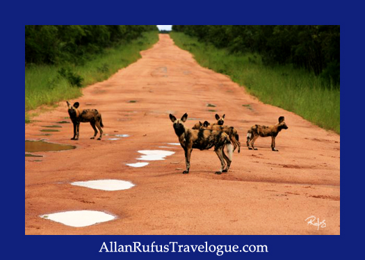 Wild dogs  on Kafue National Park road