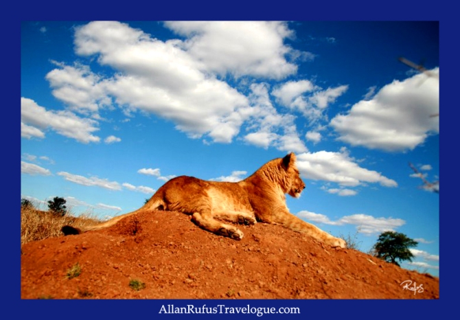 A young lion on a sand mound