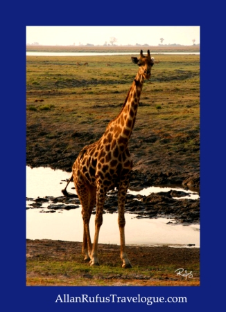 Travelogue - Allan Rufus. Botswana, Kasane, A wonderful day game viewing in the Chobe National Park - Giraffe