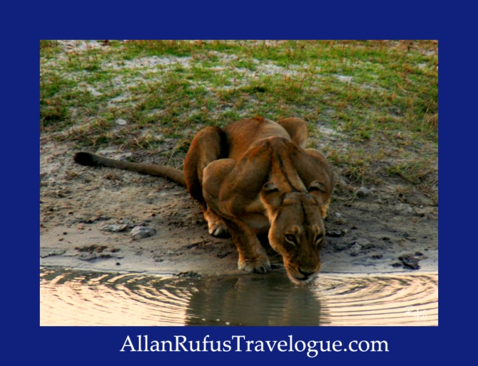Travelogue - Allan Rufus. Botswana, Kasane, A lioness  just woken up and drinks some water