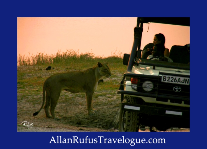 Travelogue - Allan Rufus. Botswana, Kasane, A lioness  just woken up and stands around a group of game viewing vehicles