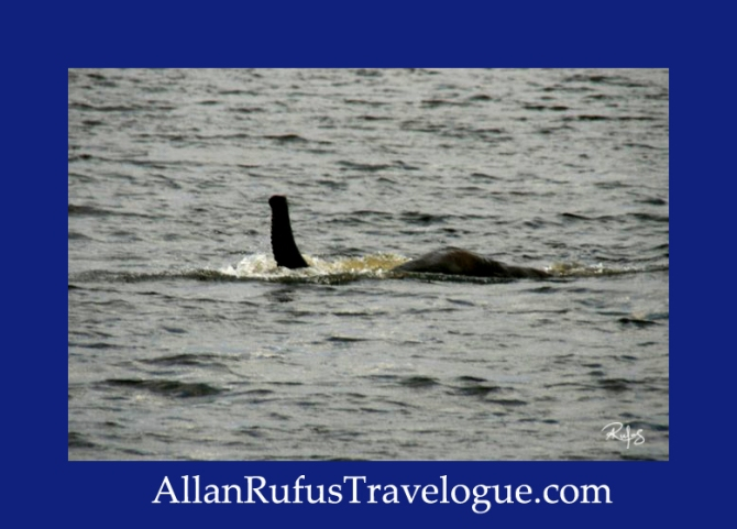 Travelogue - Allan Rufus. Botswana, Kasane, Elephant swimming under water and trunk out the water breathing in the Chobe River