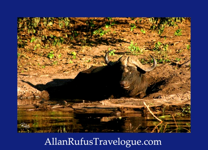 male buffalo bull resting in the mud on the banks of the Chobe River