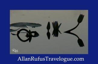 Travelogue - Allan Rufus. Botswana, Kasane, A lotus flower in the Chobe River