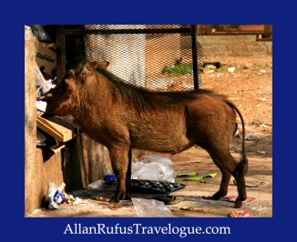 Travelogue - Allan Rufus. Botswana,  Kasane resident worthog